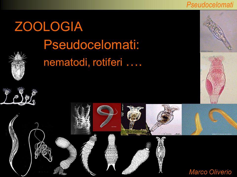 Pseudocelomati ZOOLOGIA Marco Oliverio Pseudocelomati: nematodi, rotiferi ….