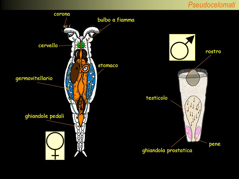 corona bulbo a fiamma ghiandole pedali germovitellario stomaco cervello rostro testicolo ghiandola prostatica pene
