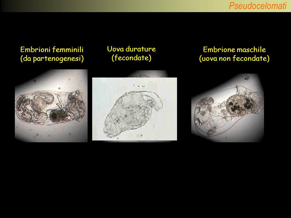 Pseudocelomati Embrioni femminili (da partenogenesi) Uova durature (fecondate) Embrione maschile (uova non fecondate)