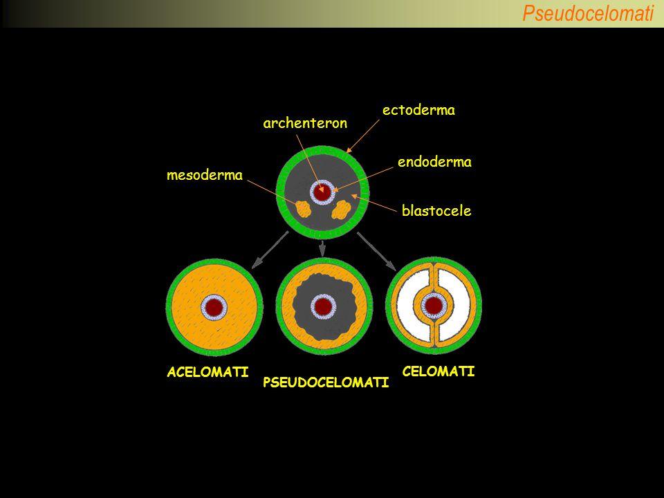 Pseudocelomati ectoderma endoderma mesoderma archenteron blastocele ACELOMATI PSEUDOCELOMATI CELOMATI