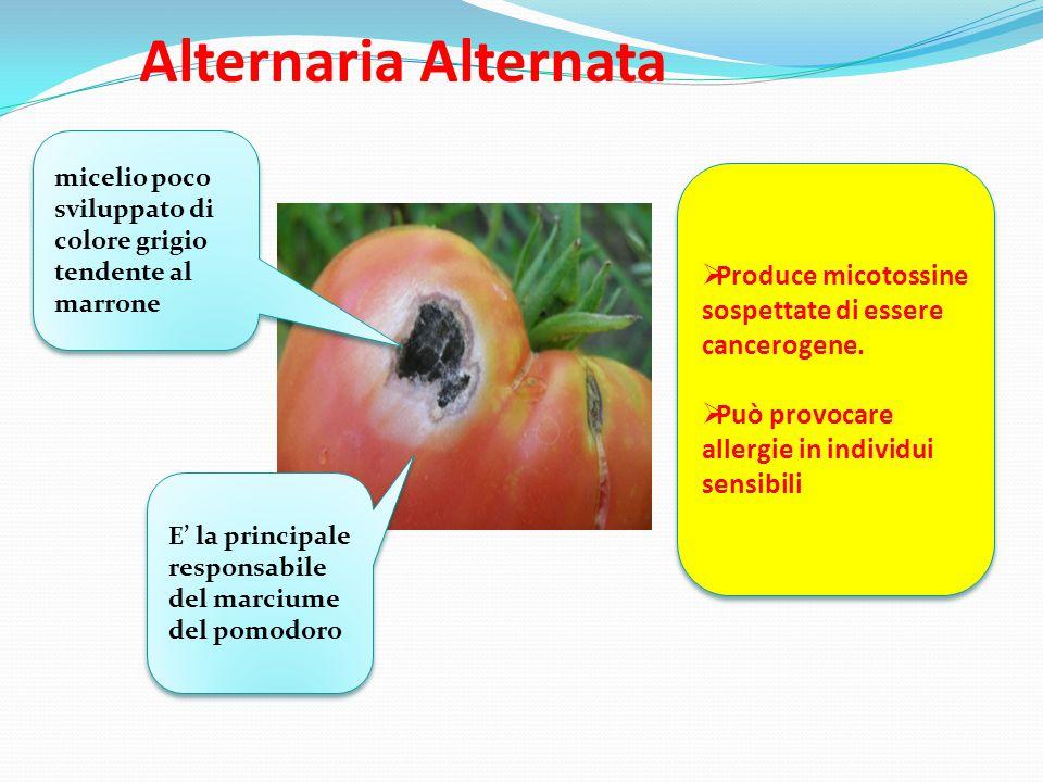 Alternaria Alternata micelio poco sviluppato di colore grigio tendente al marrone E' la principale responsabile del marciume del pomodoro  Produce mi