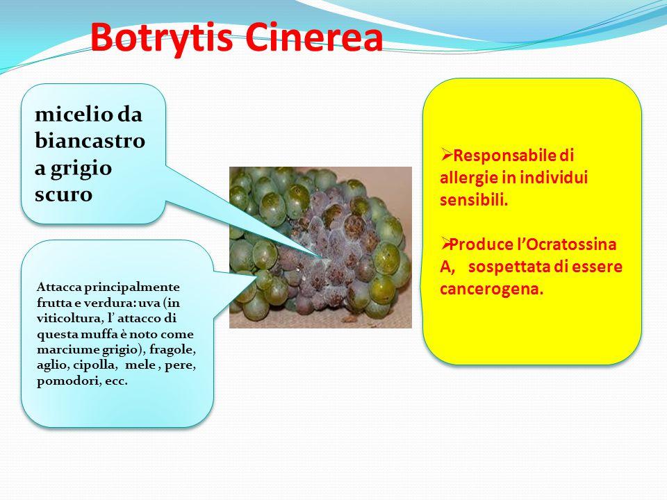 Botrytis Cinerea micelio da biancastro a grigio scuro Attacca principalmente frutta e verdura: uva (in viticoltura, l' attacco di questa muffa è noto