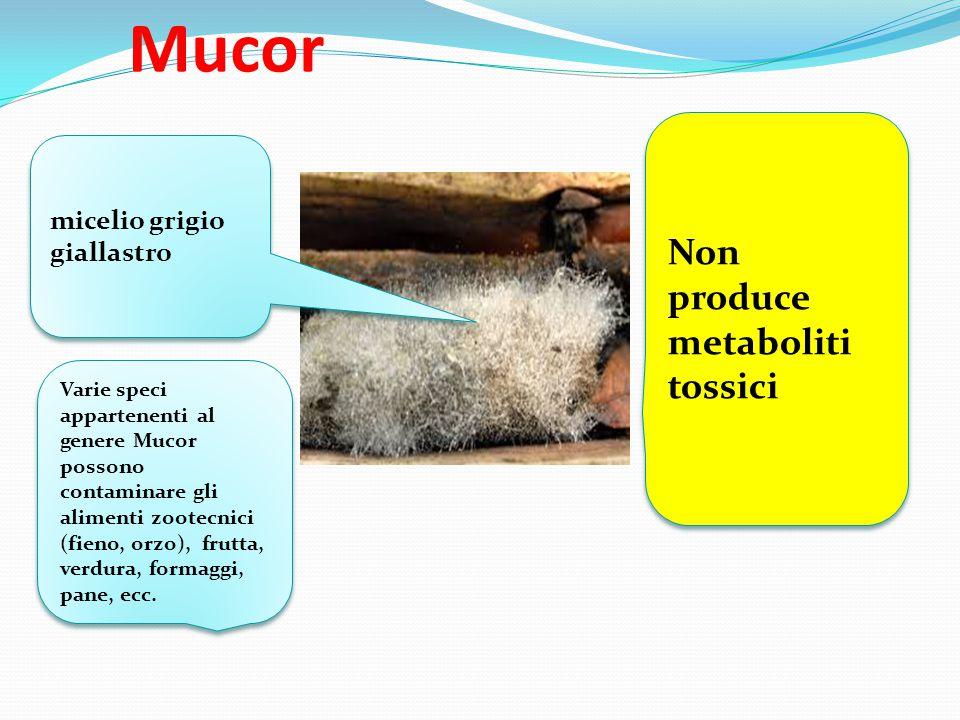 Mucor Non produce metaboliti tossici micelio grigio giallastro Varie speci appartenenti al genere Mucor possono contaminare gli alimenti zootecnici (f