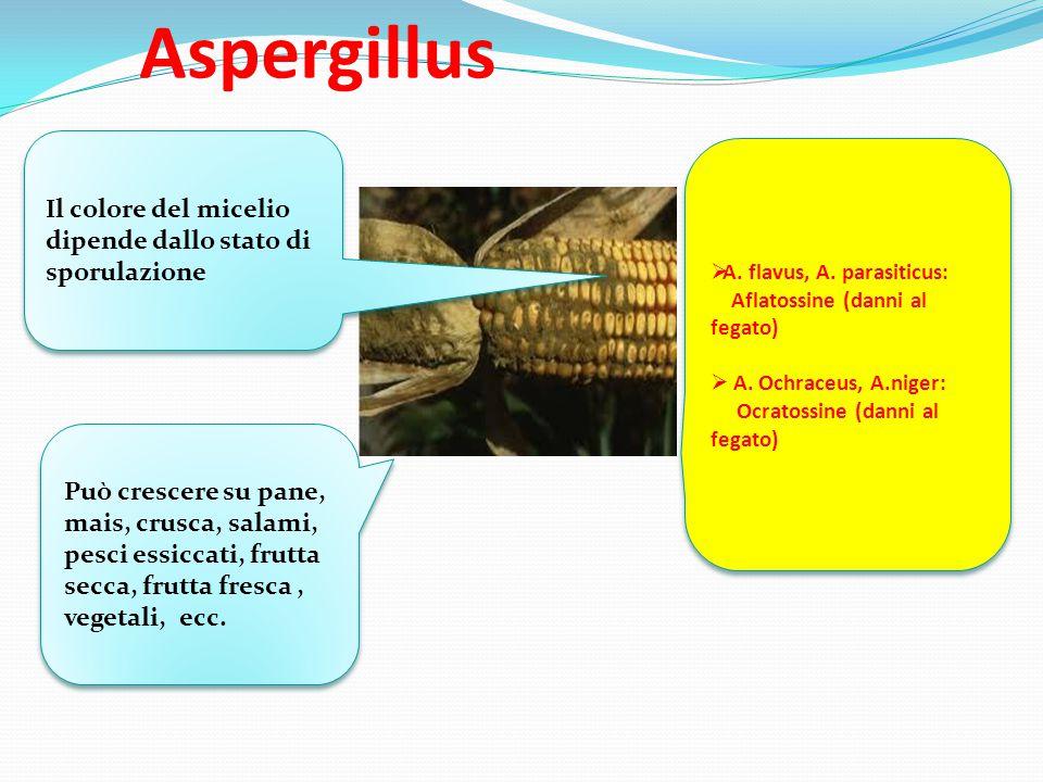 Aspergillus  A. flavus, A. parasiticus: Aflatossine (danni al fegato)  A. Ochraceus, A.niger: Ocratossine (danni al fegato)  A. flavus, A. parasiti