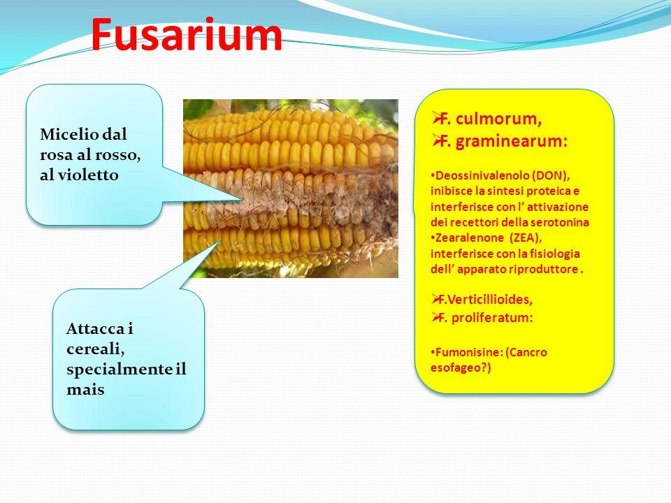 Fusarium Micelio dal rosa al rosso, al violetto Attacca i cereali, specialmente il mais  F. culmorum,  F. graminearum: Deossinivalenolo (DON), inibi