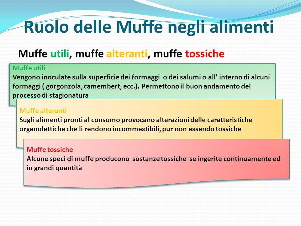 Ruolo delle Muffe negli alimenti Muffe utili, muffe alteranti, muffe tossiche Muffe utili Vengono inoculate sulla superficie dei formaggi o dei salumi