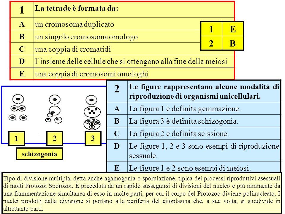 1 32 1 La tetrade è formata da: A un cromosoma duplicato B un singolo cromosoma omologo C una coppia di cromatidi D l'insieme delle cellule che si ott