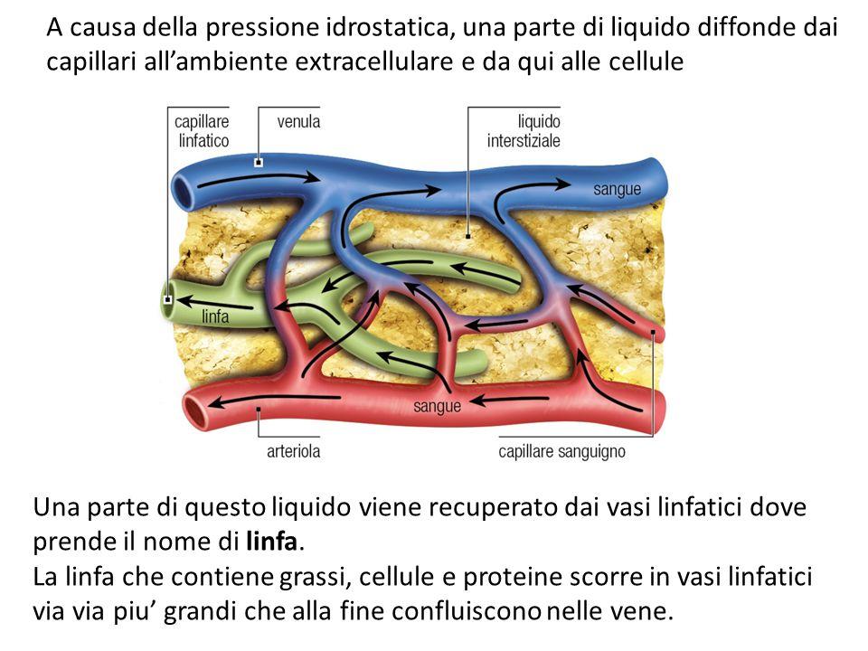 Il sistema linfatico riporta al sangue 1,5 L al giorno garantendo la OMEOSTASI IDRODINAMICA