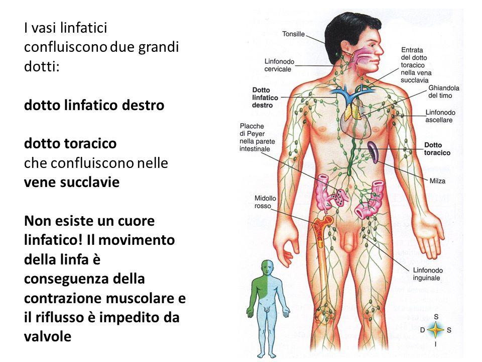 I vasi linfatici confluiscono due grandi dotti: dotto linfatico destro dotto toracico che confluiscono nelle vene succlavie Non esiste un cuore linfat