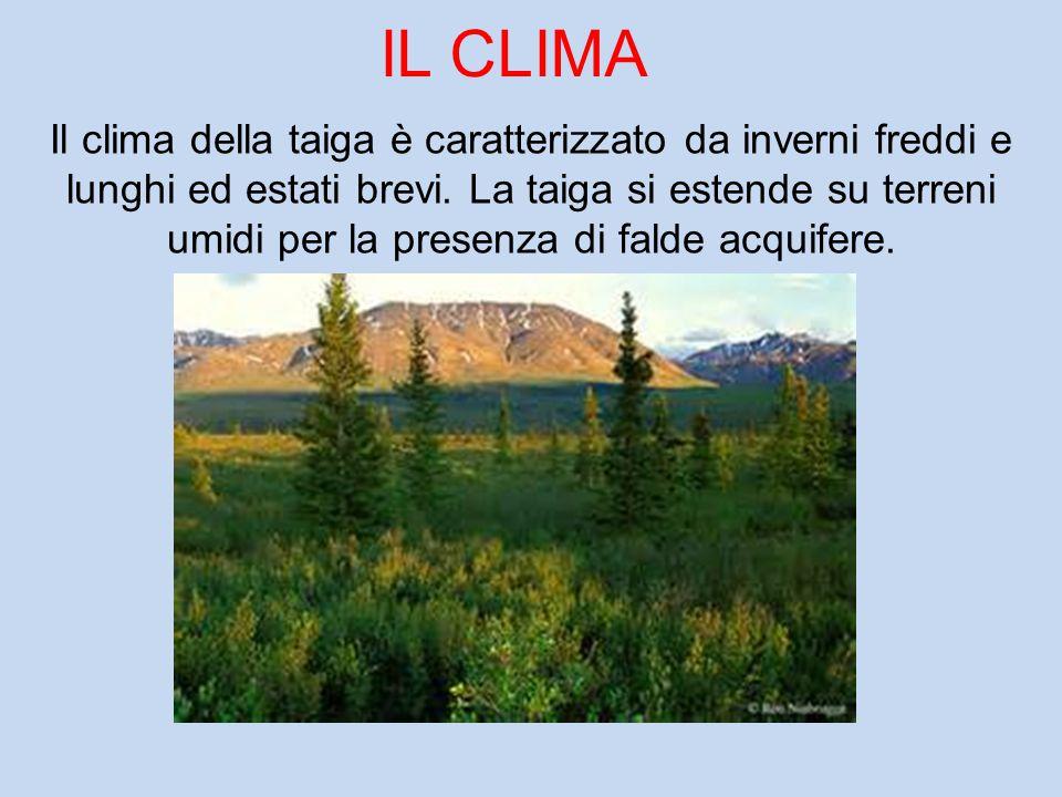 IL CLIMA Il clima della taiga è caratterizzato da inverni freddi e lunghi ed estati brevi. La taiga si estende su terreni umidi per la presenza di fal