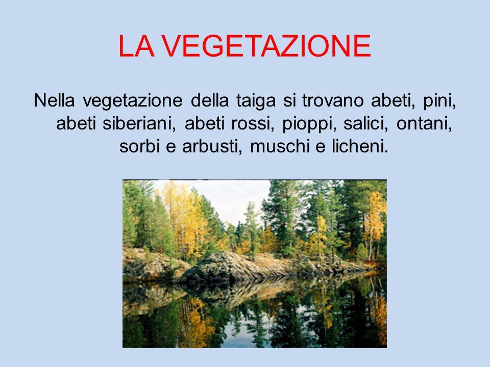 LA VEGETAZIONE Nella vegetazione della taiga si trovano abeti, pini, abeti siberiani, abeti rossi, pioppi, salici, ontani, sorbi e arbusti, muschi e l