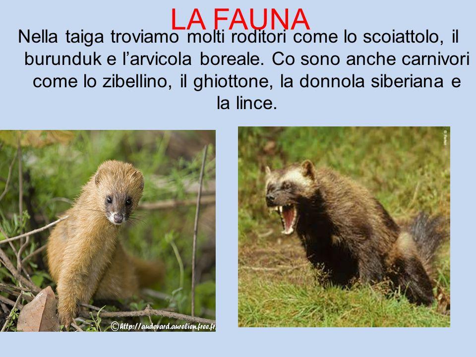 LA FAUNA Nella taiga troviamo molti roditori come lo scoiattolo, il burunduk e l'arvicola boreale. Co sono anche carnivori come lo zibellino, il ghiot
