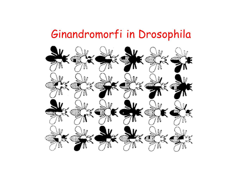 Ginandromorfi in Drosophila