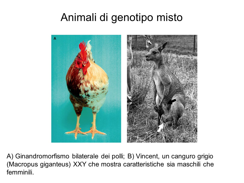 Animali di genotipo misto A) Ginandromorfismo bilaterale dei polli; B) Vincent, un canguro grigio (Macropus giganteus) XXY che mostra caratteristiche sia maschili che femminili.