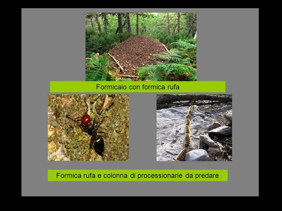 Formicaio con formica rufa Formica rufa e colonna di processionarie da predare