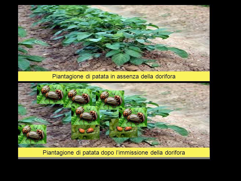 Piantagione di patata infestata dalla dorifora, in assenza di predatori naturali che controllino la proliferazione del coleottero