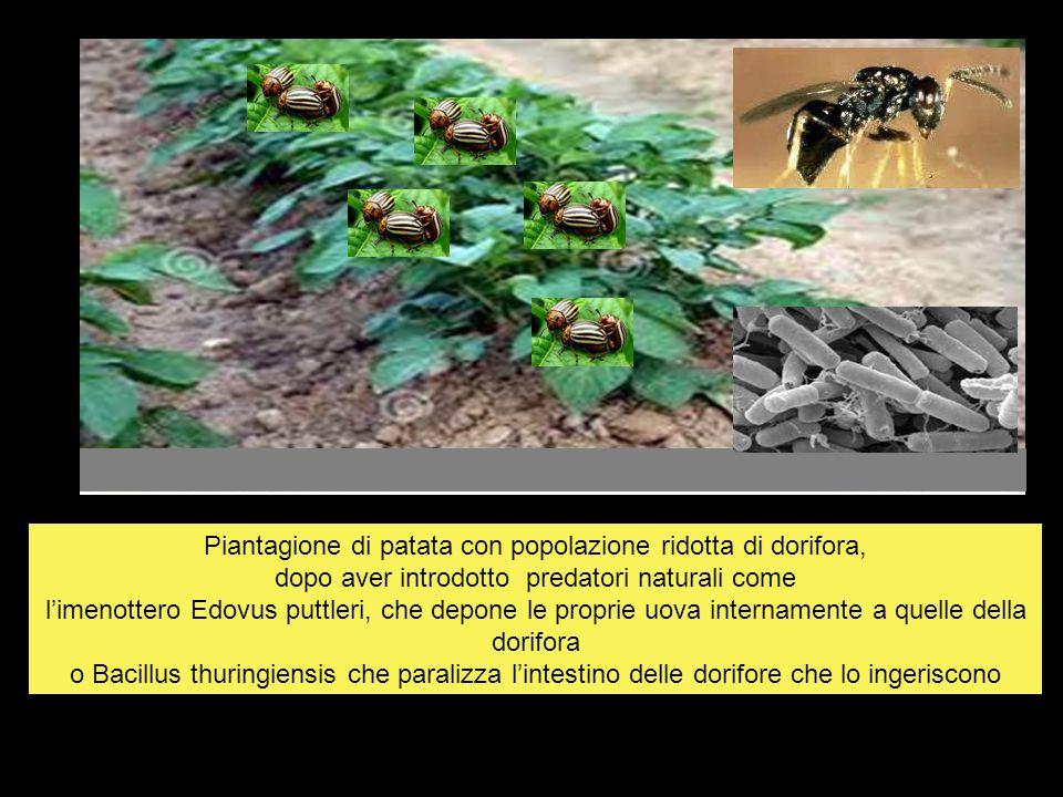 Piantagione di patata con popolazione ridotta di dorifora, dopo aver introdotto predatori naturali come l'imenottero Edovus puttleri, che depone le pr