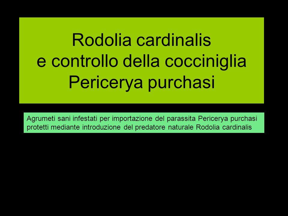 Rodolia cardinalis e controllo della cocciniglia Pericerya purchasi Agrumeti sani infestati per importazione del parassita Pericerya purchasi protetti