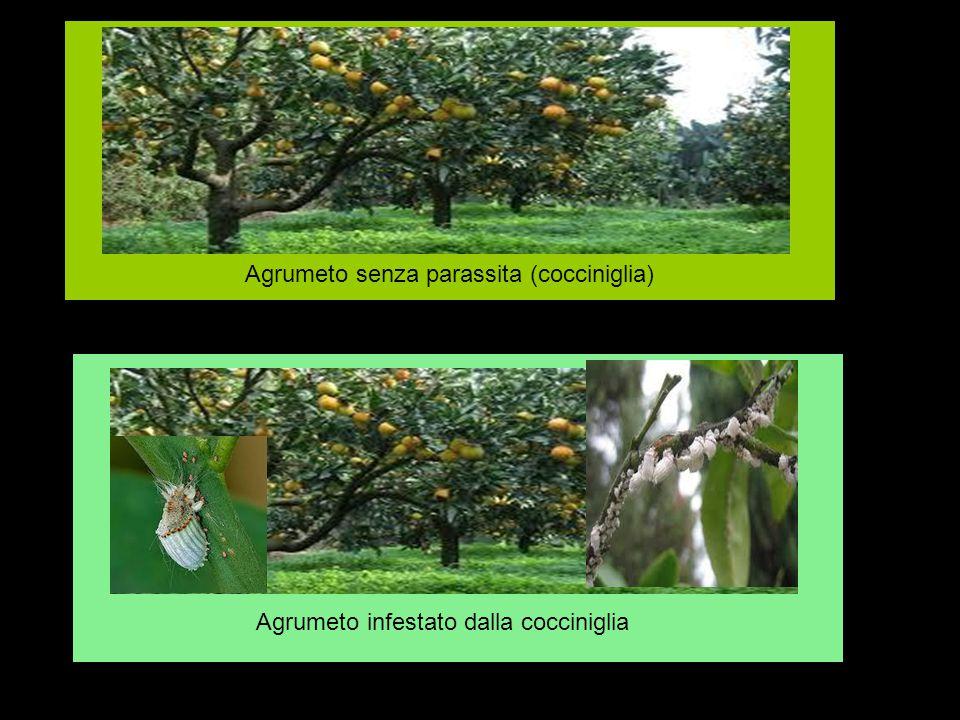 Agrumeto senza parassita (cocciniglia) Agrumeto infestato dalla cocciniglia