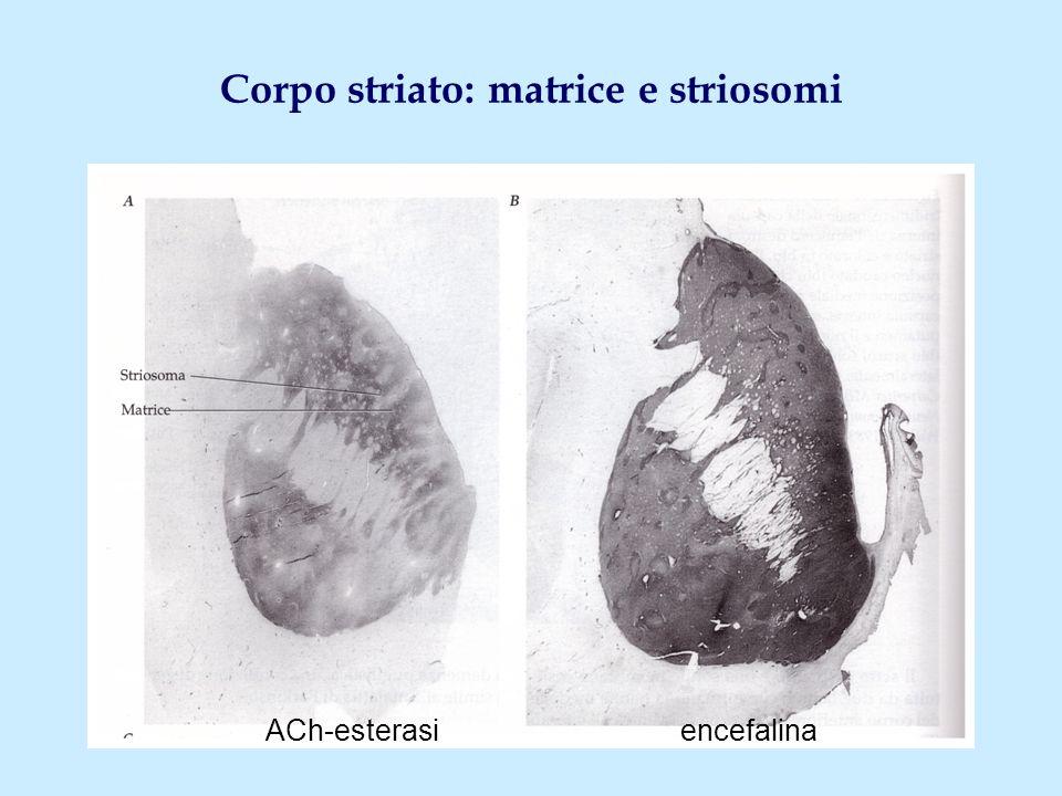 Corpo striato: matrice e striosomi ACh-esterasi encefalina
