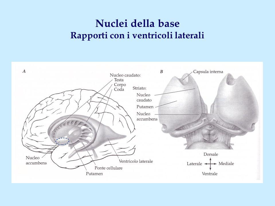 Quattro distinti circuiti cortico- nucleari