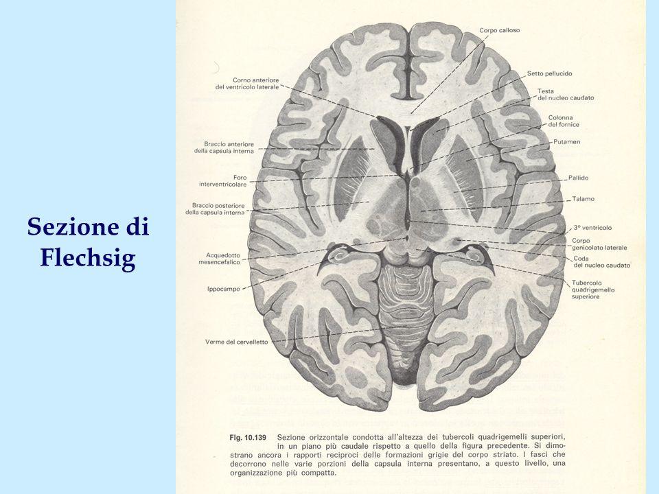Aree corticali di proiezione dai nuclei della base