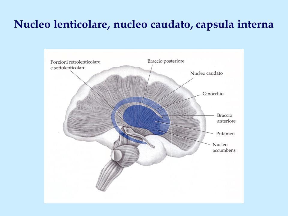 Nucleo lenticolare, nucleo caudato, capsula interna