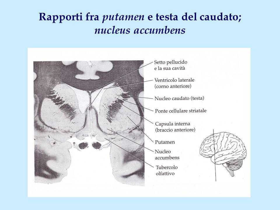 Rapporti fra putamen e testa del caudato; nucleus accumbens
