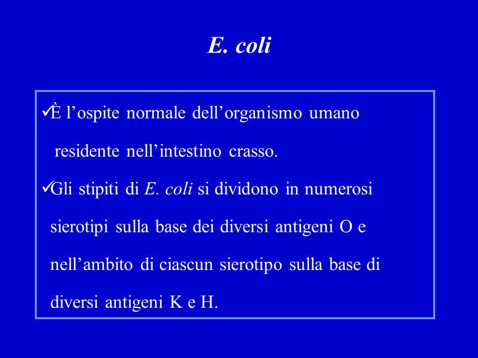 E.coli È l'ospite normale dell'organismo umano residente nell'intestino crasso.