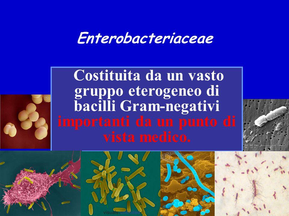 Enterobacteriaceae Costituita da un vasto gruppo eterogeneo di bacilli Gram-negativi importanti da un punto di vista medico.