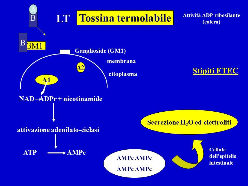 B LT membrana citoplasma A GM1 A1 NAD ADPr + nicotinamide attivazione adenilato-ciclasi ATP AMPc Secrezione H 2 O ed elettroliti A2 Tossina termolabile Ganglioside (GM1) AMPc Attività ADP-ribosilante (colera) B Stipiti ETEC Cellule dell'epitelio intestinale