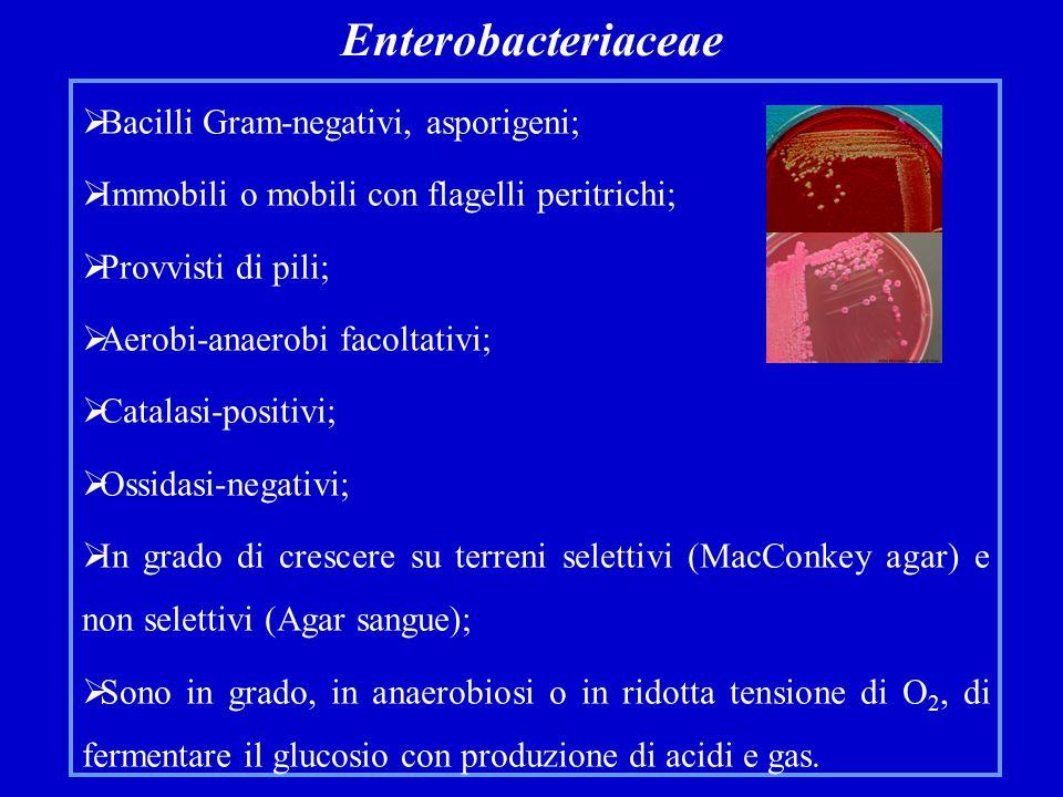 Enterobacteriaceae  Bacilli Gram-negativi, asporigeni;  Immobili o mobili con flagelli peritrichi;  Provvisti di pili;  Aerobi-anaerobi facoltativi;  Catalasi-positivi;  Ossidasi-negativi;  In grado di crescere su terreni selettivi (MacConkey agar) e non selettivi (Agar sangue);  Sono in grado, in anaerobiosi o in ridotta tensione di O 2, di fermentare il glucosio con produzione di acidi e gas.
