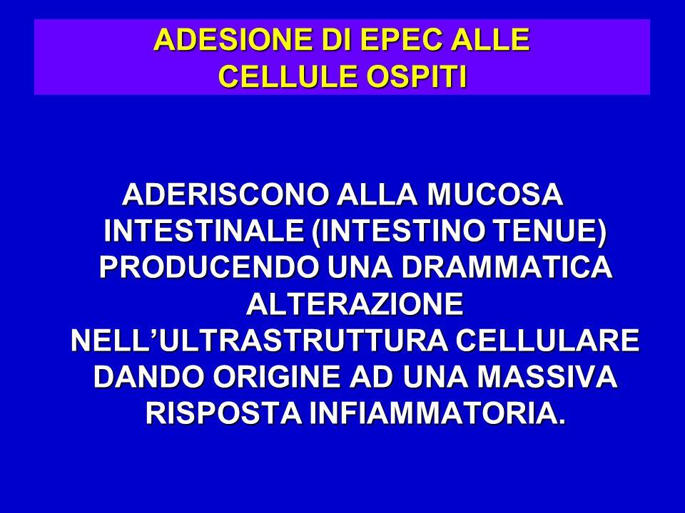 ADESIONE DI EPEC ALLE CELLULE OSPITI ADERISCONO ALLA MUCOSA INTESTINALE (INTESTINO TENUE) PRODUCENDO UNA DRAMMATICA ALTERAZIONE NELL'ULTRASTRUTTURA CELLULARE DANDO ORIGINE AD UNA MASSIVA RISPOSTA INFIAMMATORIA.