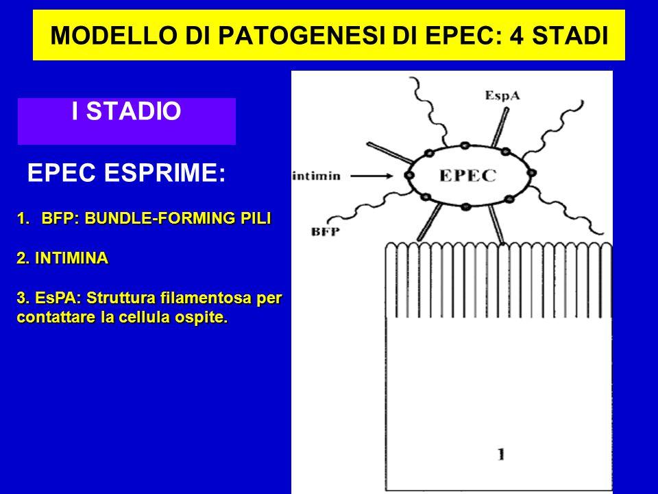 MODELLO DI PATOGENESI DI EPEC: 4 STADI I STADIO EPEC ESPRIME: 1.BFP: BUNDLE-FORMING PILI 2.