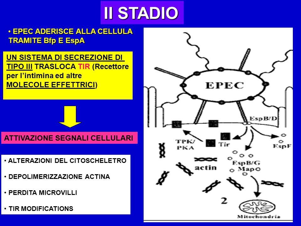II STADIO EPEC ADERISCE ALLA CELLULA EPEC ADERISCE ALLA CELLULA TRAMITE Bfp E EspA UN SISTEMA DI SECREZIONE DI TIPO III TRASLOCA TIR (Recettore per l'intimina ed altre MOLECOLE EFFETTRICI) ATTIVAZIONE SEGNALI CELLULARI ALTERAZIONI DEL CITOSCHELETRO DEPOLIMERIZZAZIONE ACTINA PERDITA MICROVILLI TIR MODIFICATIONS