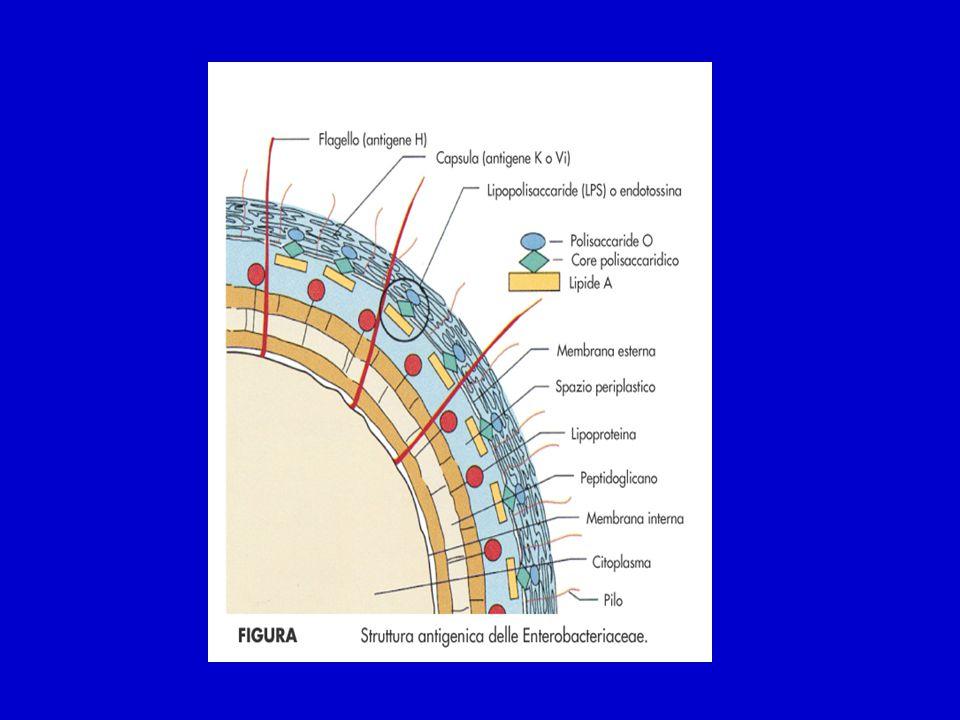 Enterobacteriaceae Fattori di virulenza Capsula Protegge i microrganismi dalla fagocitosi.