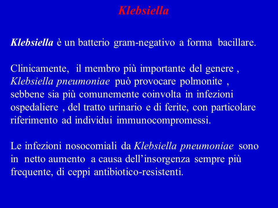 Klebsiella è un batterio gram-negativo a forma bacillare.