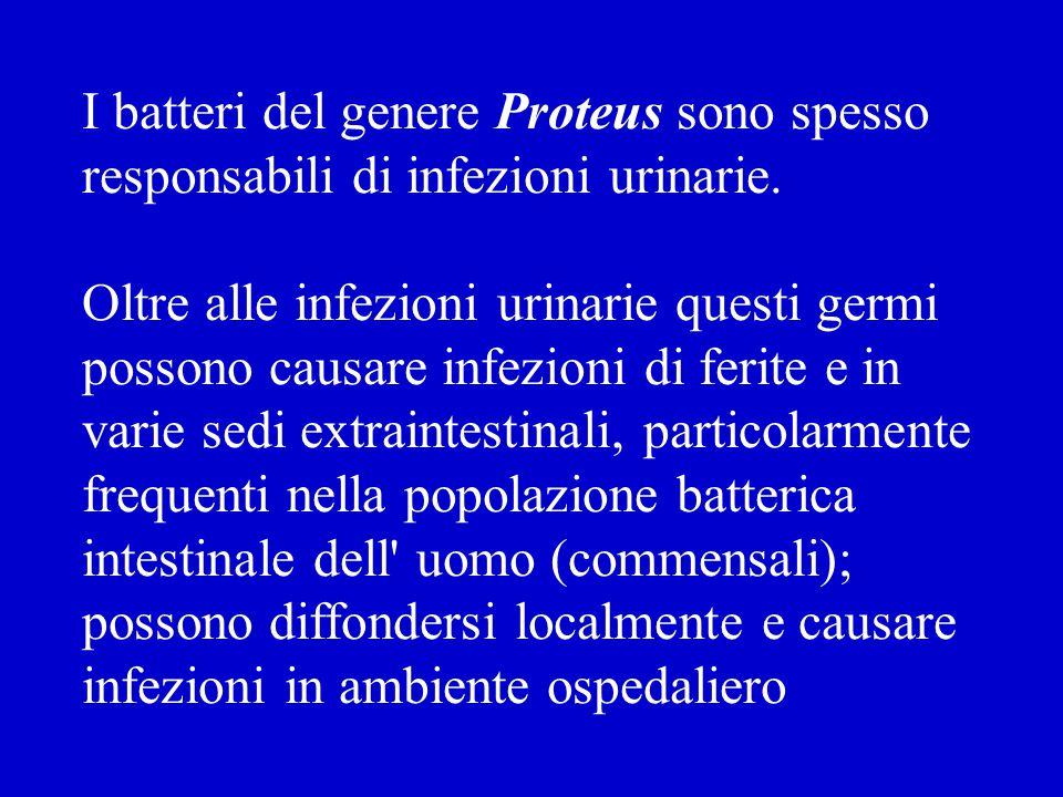 I batteri del genere Proteus sono spesso responsabili di infezioni urinarie.