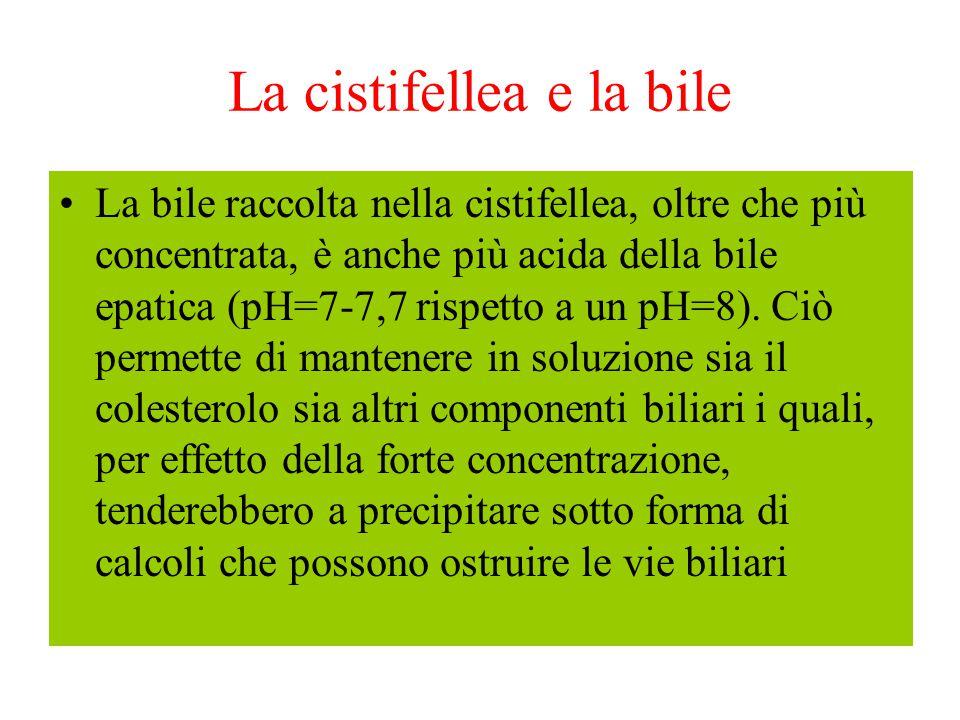 La cistifellea e la bile La bile raccolta nella cistifellea, oltre che più concentrata, è anche più acida della bile epatica (pH=7-7,7 rispetto a un p