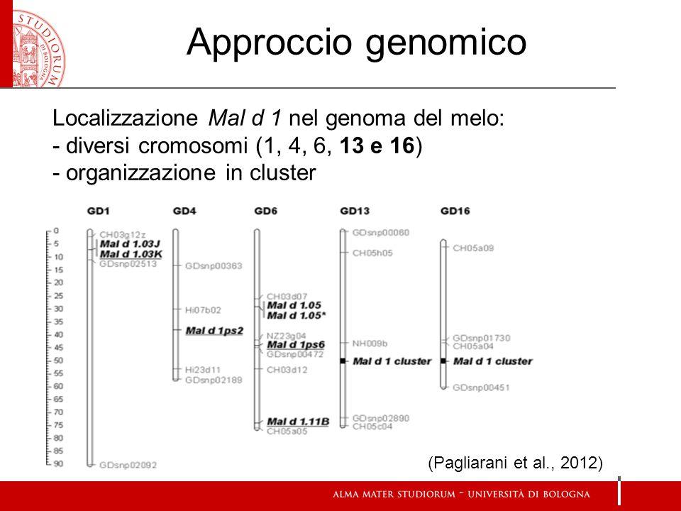 Approccio genomico (Pagliarani et al., 2012) Localizzazione Mal d 1 nel genoma del melo: - diversi cromosomi (1, 4, 6, 13 e 16) - organizzazione in cluster