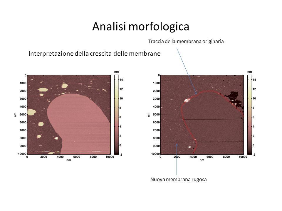 Traccia della membrana originaria Nuova membrana rugosa Analisi morfologica Interpretazione della crescita delle membrane