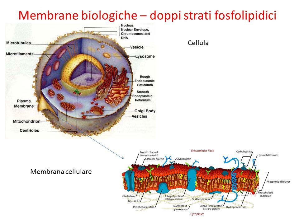 Membrane biologiche – doppi strati fosfolipidici Cellula Membrana cellulare