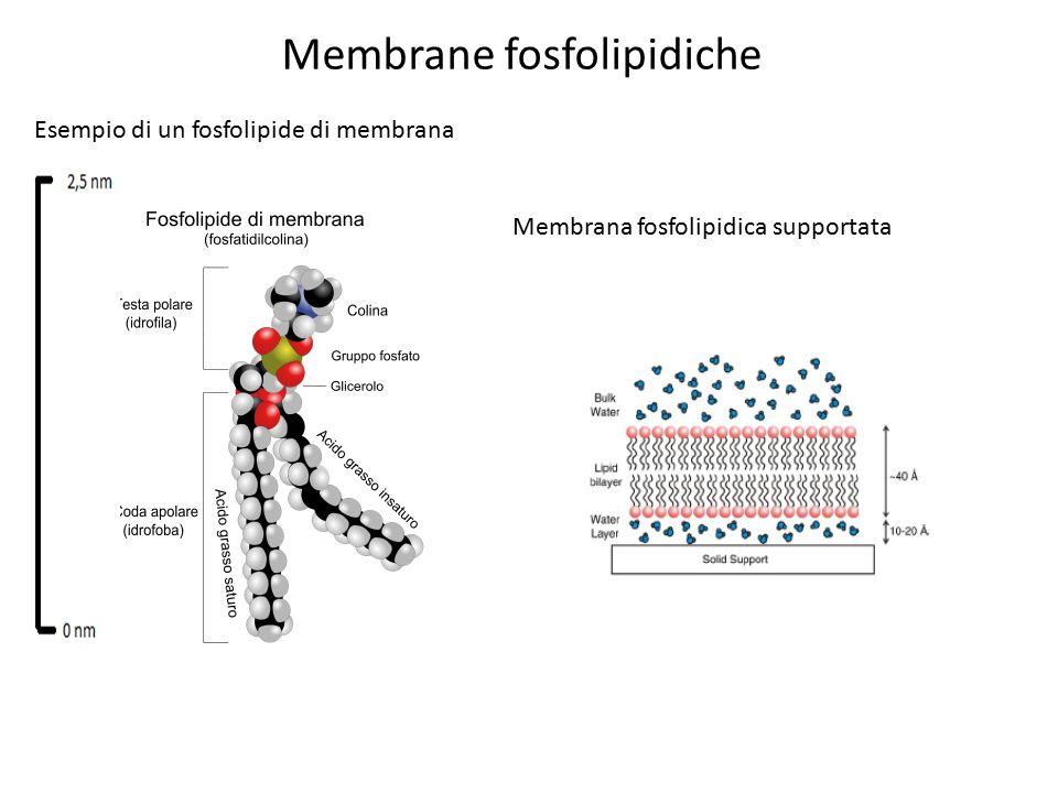Membrane fosfolipidiche Esempio di un fosfolipide di membrana Membrana fosfolipidica supportata