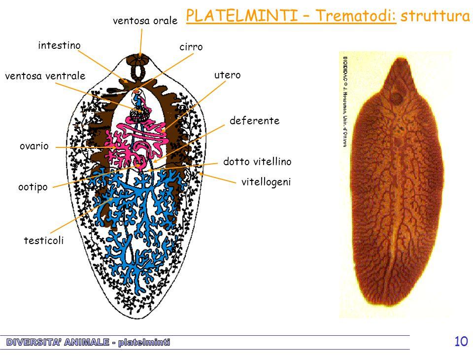 10 intestino testicoli ovario vitellogeni ventosa orale ventosa ventrale deferente dotto vitellino ootipo utero cirro PLATELMINTI – Trematodi: struttu