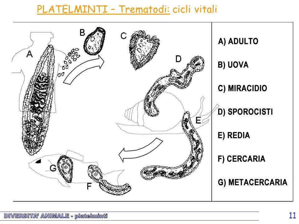 11 PLATELMINTI – Trematodi: cicli vitali