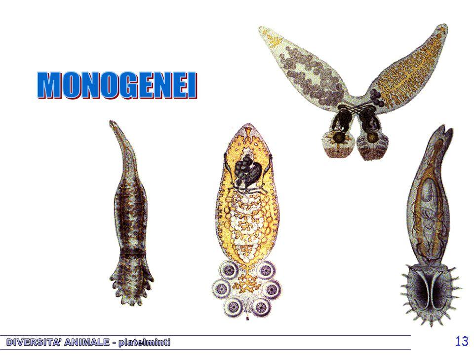 13 Monogenei