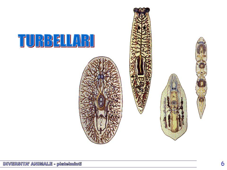 6 Turbellari