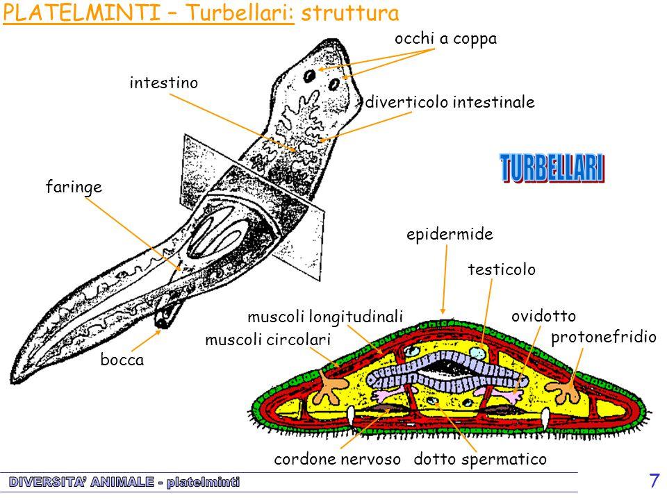 7 occhi a coppa diverticolo intestinale intestino bocca faringe epidermide testicolo muscoli circolari muscoli longitudinali cordone nervoso dotto spe