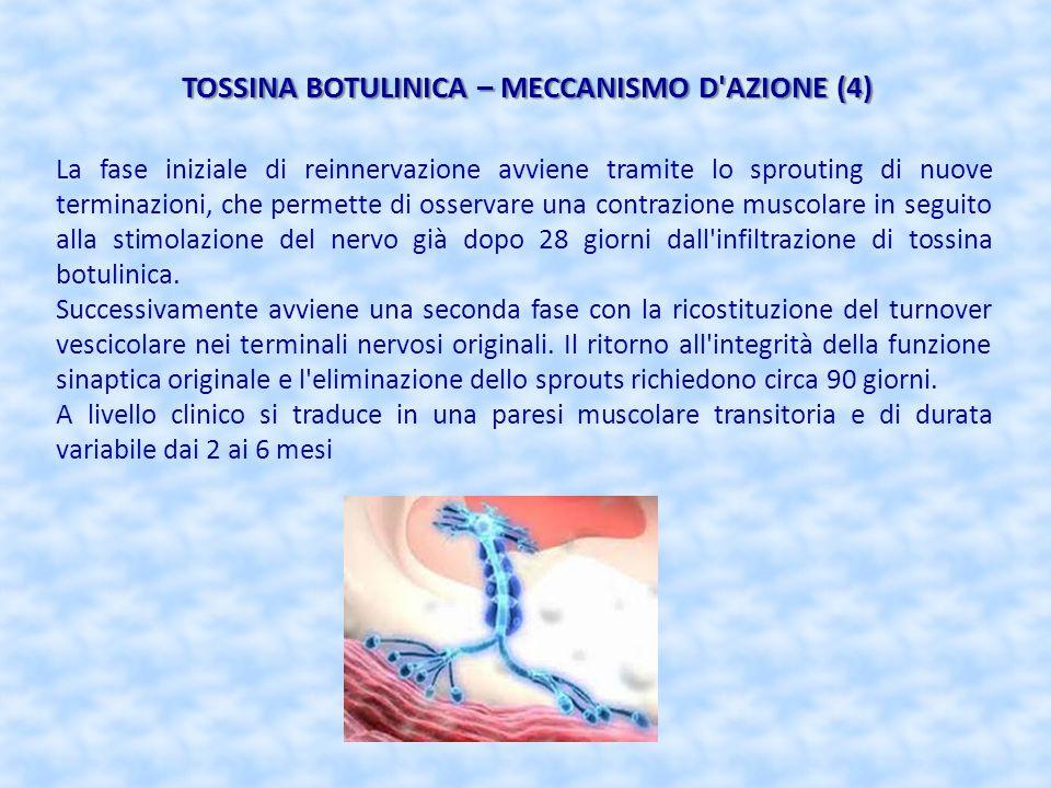 TOSSINA BOTULINICA – MECCANISMO D'AZIONE (4) La fase iniziale di reinnervazione avviene tramite lo sprouting di nuove terminazioni, che permette di os