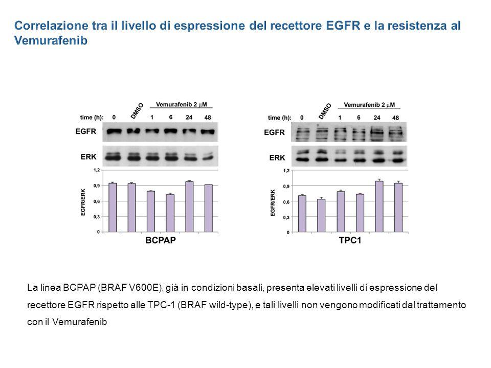 La linea BCPAP (BRAF V600E), già in condizioni basali, presenta elevati livelli di espressione del recettore EGFR rispetto alle TPC-1 (BRAF wild-type), e tali livelli non vengono modificati dal trattamento con il Vemurafenib